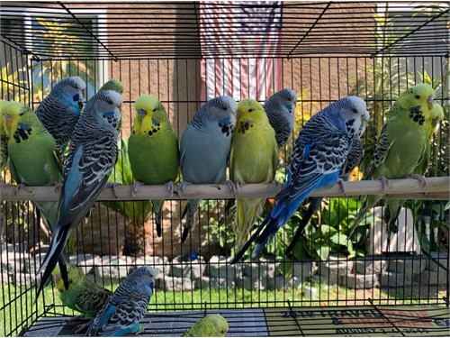 Beautiful English Budgies