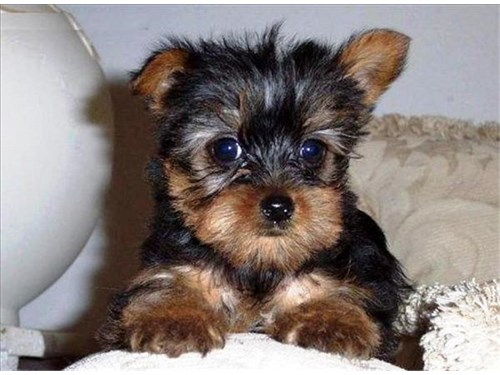 Amazing Teacup Yorkie Pup