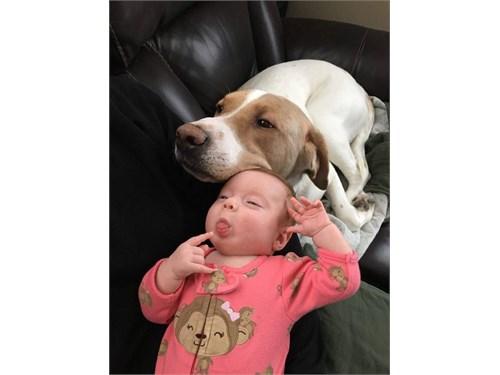 Labrador Puppies Hybrid