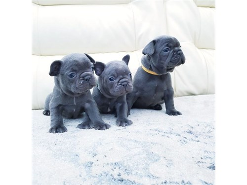 Qlty French Bulldogs Pups