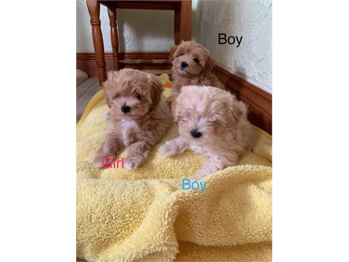 Tinyface Maltipoo Puppies