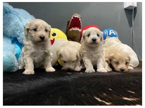 Maltipoo Puppys