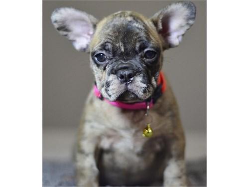Fawn MERLE French Bulldog