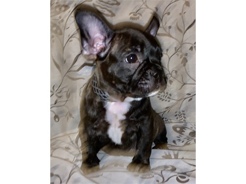 AKC French Bulldog