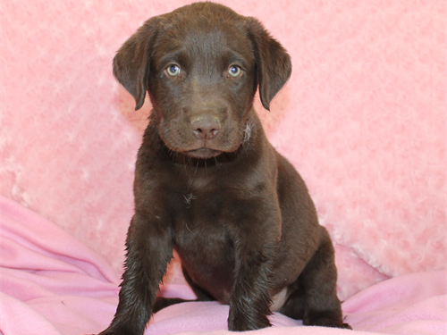 Chocolate Female Lab