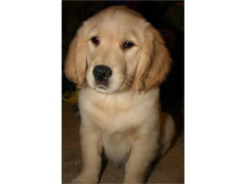 cute golden retriever pup
