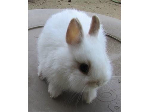 Netherland Dwarf Bunny!