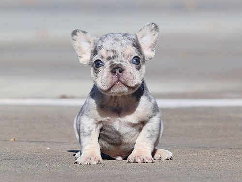 Lilac Merle Tri Frenchie