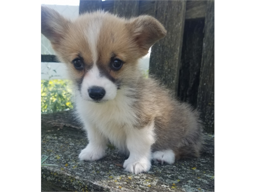 Caring Welsh Corgi Pups