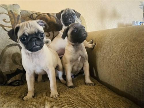 Pug puppy beautiful