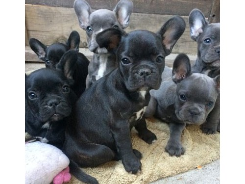 Cute trained frenchies
