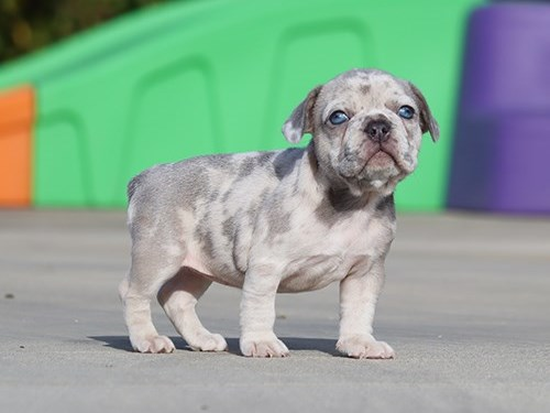 AKC Lilac Merle Frenchie