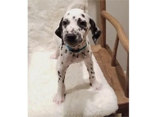 Up to date Dalmatian pups