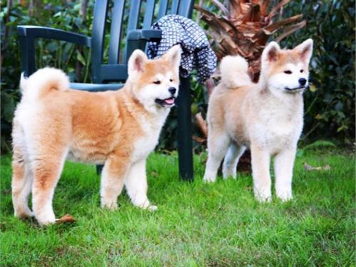 Beautiful Akita puppies