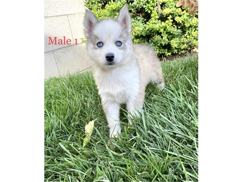 Pomsky Male Puppies