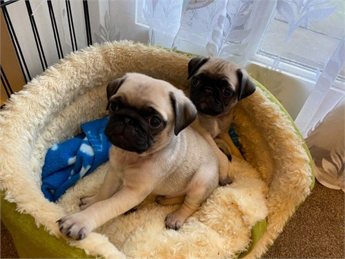 Amazing Pug Puppies