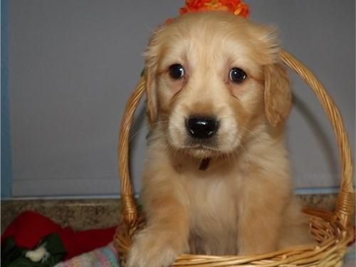 Amazing Labrador Puppies