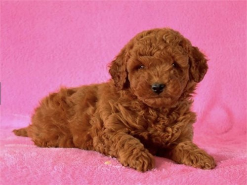 MINI GOLDEN DOODLE PUPPIE