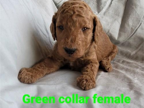 AKC standard poodle pups