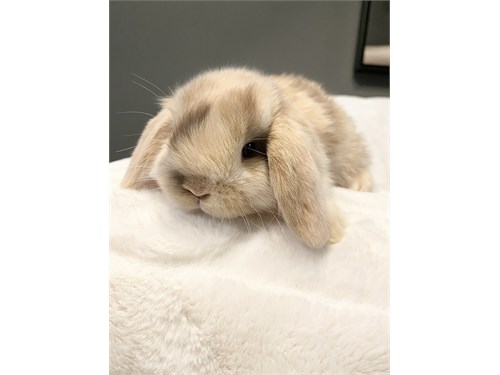 Baby lop bunnies, bunny