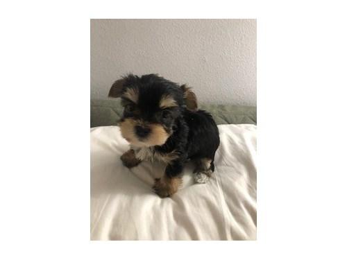 Tiny Yorkie Baby $2900