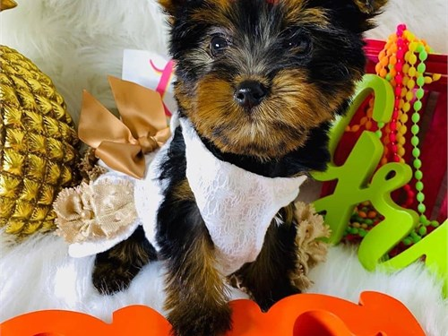 Amazing yorkie puppies fo