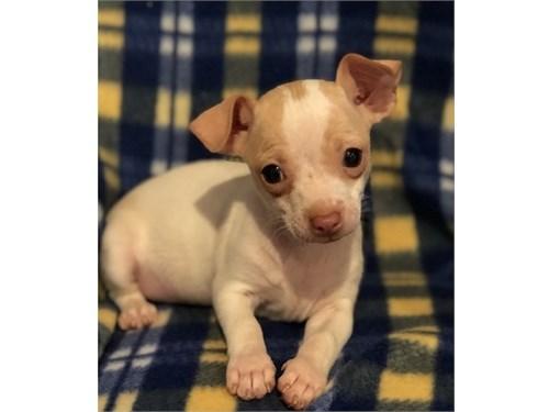 Full Chihuahua Pups$