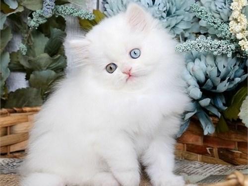 Loyal-CKC Persian Kittens