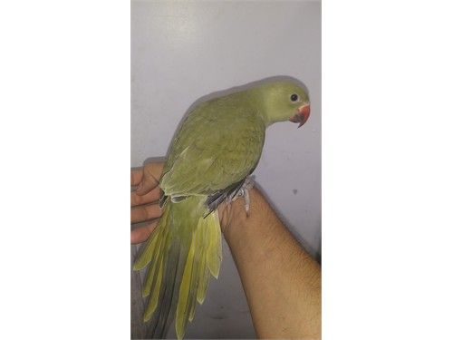 Handfed Indian Ringneck P