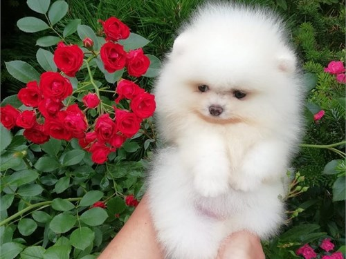 Pomerania pups ready