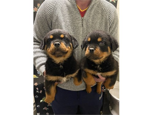 Amazing Rottweilers