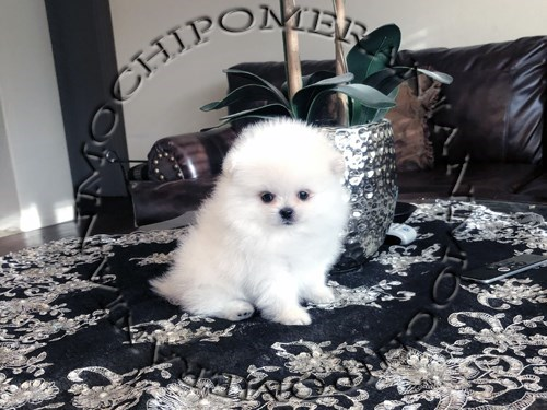 AKC Teacup Ice White Male