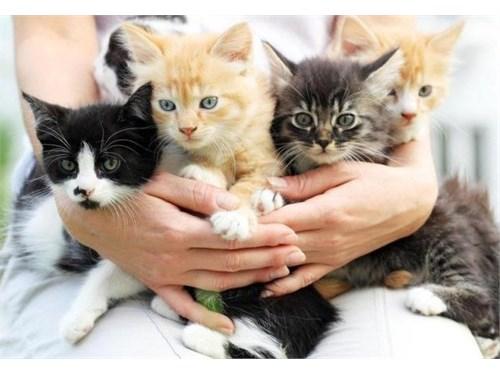 ZZE Munchkin kittens