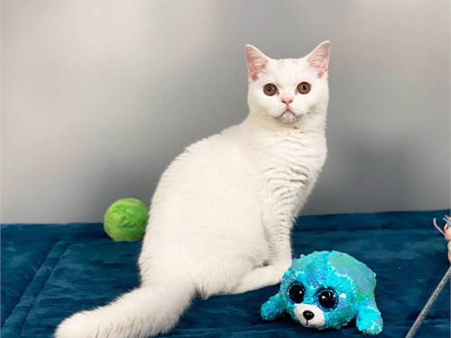 British white cat female