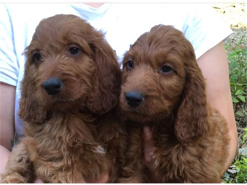 Cute Goldendoodle Puppies