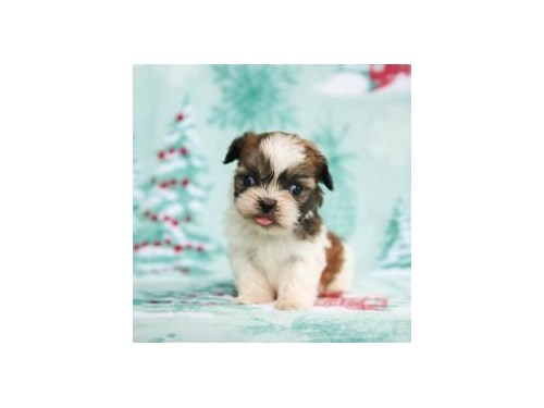 shih tzu puppies ready