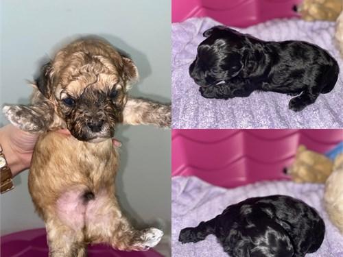 Lhasa-Poo puppies