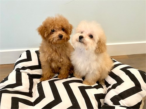 Red and tan maltipoo