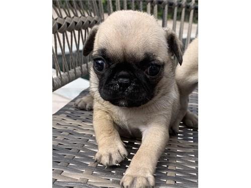 Pug Female Puppy
