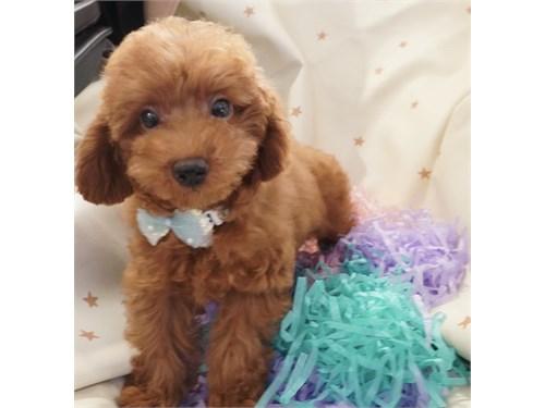 Cute Female Poodle