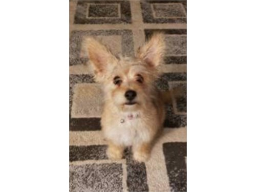 YORKIEPOO TOY FEMALE 11MO