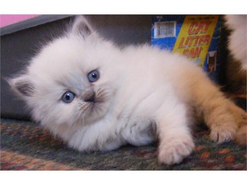 ktrf Himalayan kittens