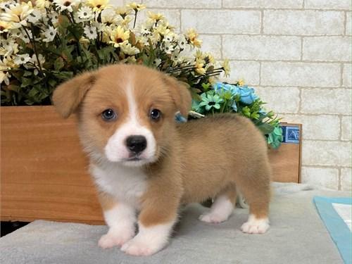 Super Cute Corgi Puppies