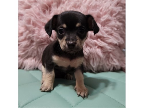 Chihuahua Tcup Puppies!!