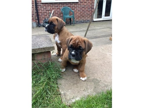 Boxer Puppies Now Ready