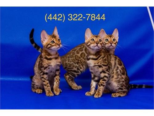 Bengal Kittens Purebred