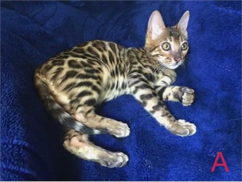 Beutiful Bengal Kittens