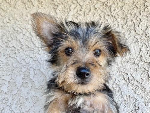 Yorkie Male Puppy