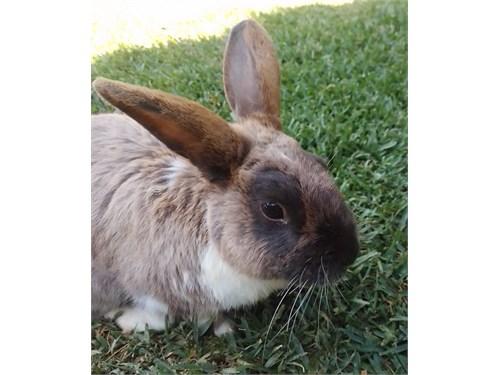 Classic Brown Male Rabbit
