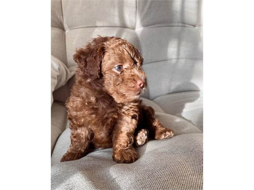 for sale poodle puppies